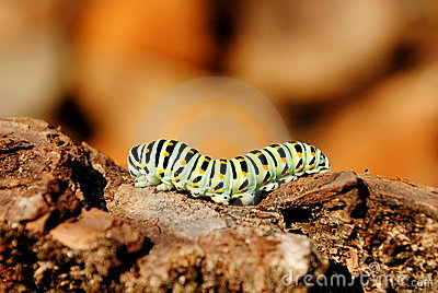 Papilio machaon caterpillar stage