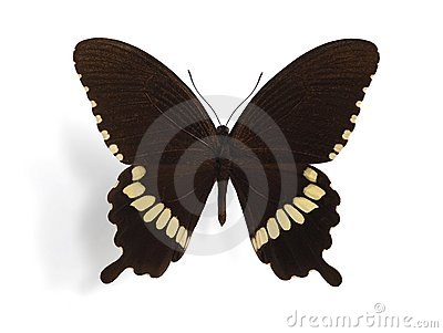 Papilio polytes (male)