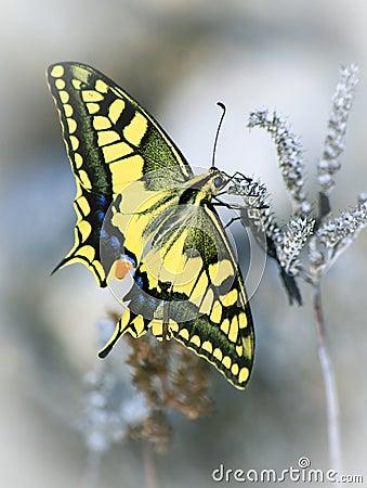 Papilio zelicaon