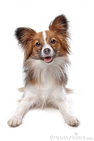 Free Papillon Stock Images - 18380904