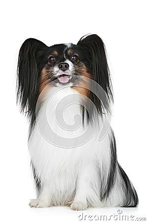 Free Papillon Breed Dog Portrait Stock Photography - 17161282