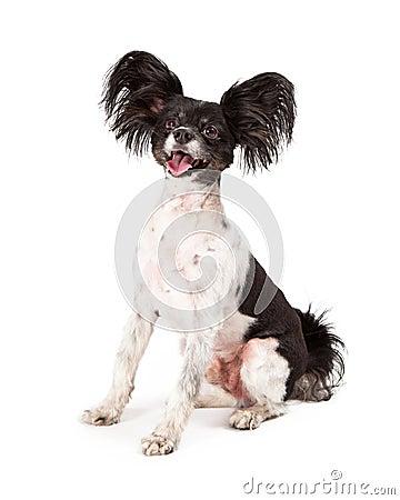 Free Papillon Dog Big Smile Stock Images - 39995764