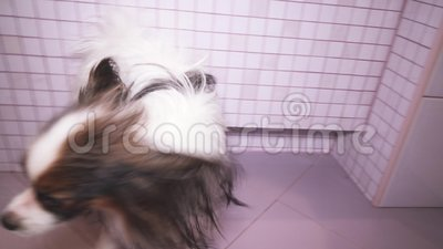 Papillon dog is blow dry after bathing in bathroom stock footage video stock footage
