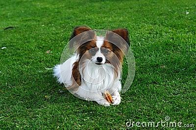 Papillon dog with denta stix