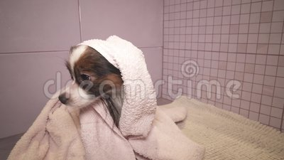 Papillon dog in towel after bathing in the bathroom stock footage video stock video