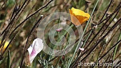 Papoila da califórnia da laranja dourada cultivada no final da primavera filme