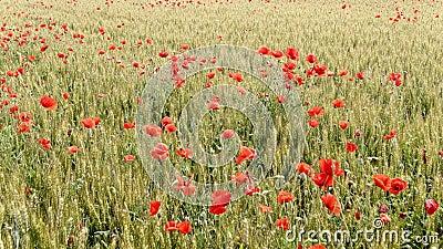 Papoilas vermelhas em um campo cultivado vídeos de arquivo