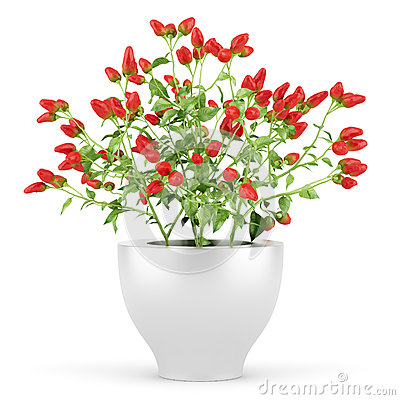 Paprika plant in pot isolated on white