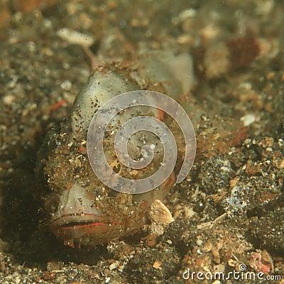 Papuan Scorpionfish