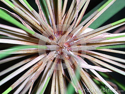 Papyrus flower