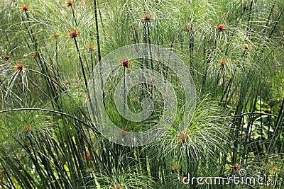 Papyrus grass