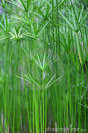 Free Papyrus Green Plant On Glasses Stock Photos - 21645863