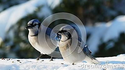 Par de lindas aves azuis em sementes de neve em um dia ensolarado - corvidae cyanocitta cristata video estoque
