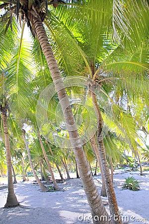 Paraíso tropical de la arena blanca de las palmeras del coco