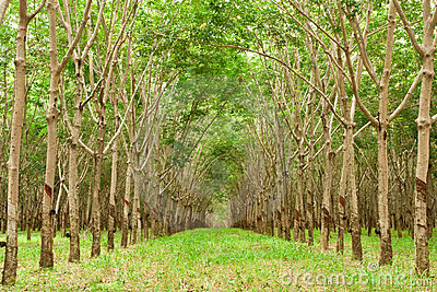 Para rubber tree gerdenning in Thailand