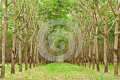 Para rubber tree gerdenning in Thailand