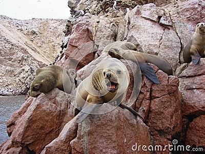 Paracaz Seal