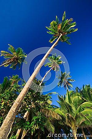 Paradis tropical de palmier