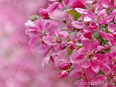 Paradise apple flowers