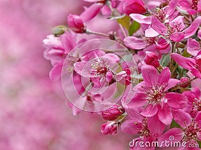 Paradise apple flowers