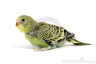 Parakeet breeding
