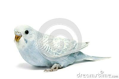 Parakeet breeding