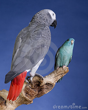 Parakeet and Grey Parrot