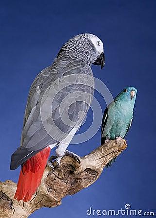 Parakeet and Grey Parrot
