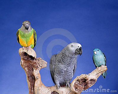Parakeet and Senegal Parrot