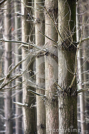 Parallel trees in Winter