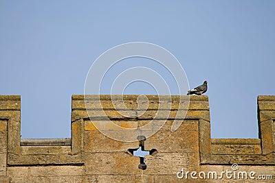 Parapet Pigeon
