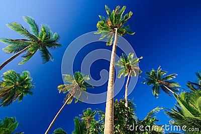 Paraíso tropical de la palmera