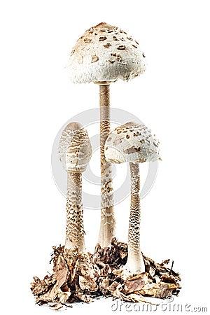 Free Parasol Mushroom Stock Photography - 33479822