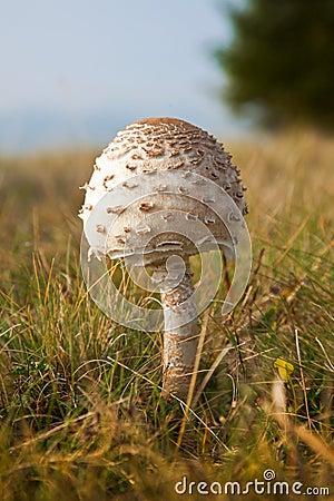 Parasol mushroom, Macrolepiota procera