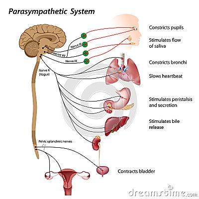 Free Parasympathetic System Royalty Free Stock Images - 25474169
