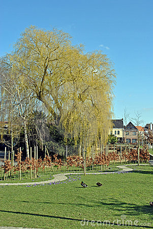 Parc with weeping willow and ducks in early spring