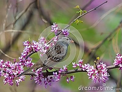Pardal e árvore coroados branco de Redbud