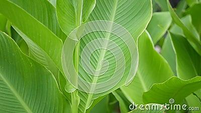 Pared de la hoja del plátano Hojas verdes frescas tropicales grandes del árbol de plátano Fondo exótico tropical natural metrajes