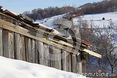 Parelhoenders die op het dak worden neergestreken