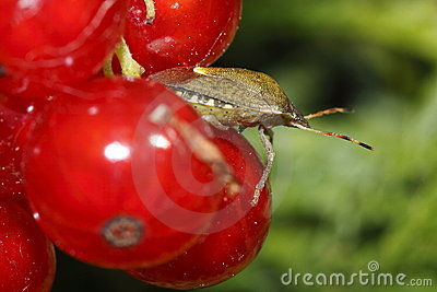 Parent bug on the red currants