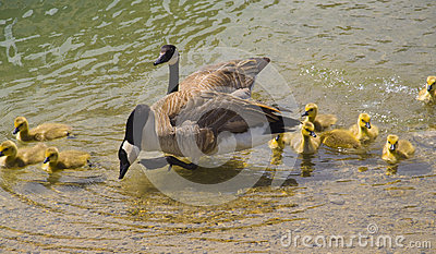 Parent Geese and baby gooslings swimming in pond