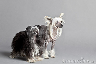 Pares con cresta chinos del perro