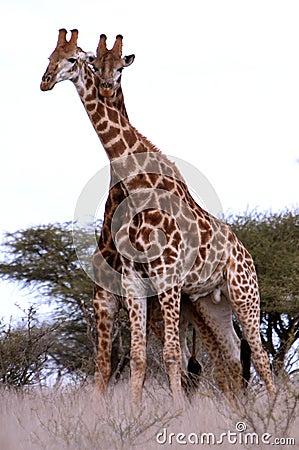Pares de jirafas africanas