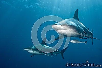 Pares do tubarão