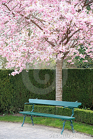 Free Park Bench Under A Blooming Cherry Tree Royalty Free Stock Photo - 12092135