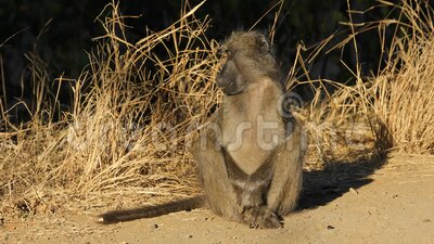 Park Narodowy Chacma baboon - Kruger zbiory wideo
