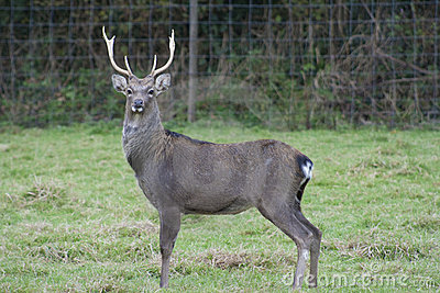 Parkland sika stag