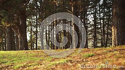 Parque con coníferas verdes en el bosque de arbustos Pinos Agujas rojas caídas y hierba verde almacen de metraje de vídeo