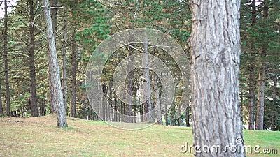 Parque con coníferas verdes en el bosque de arbustos Pinos Agujas rojas caídas y hierba verde metrajes