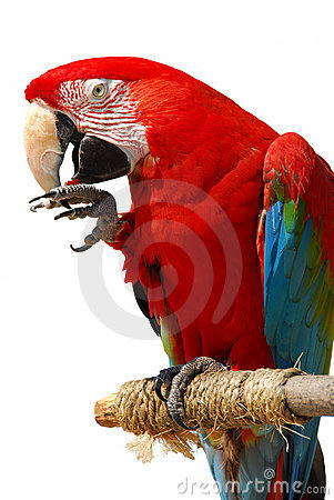 Free Parrot Royalty Free Stock Photography - 3561627